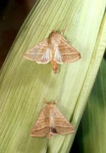 Moth - Corn
