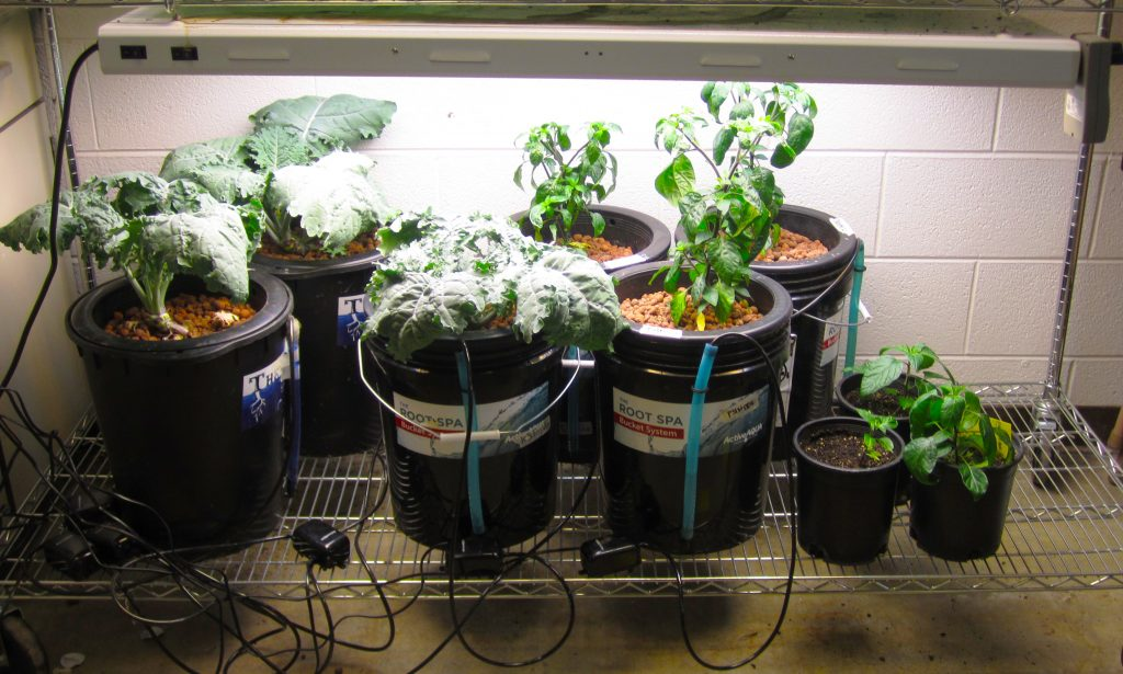 Three kale plants and three pepper plants in hydroponic systems grown next to pepper plants in soil for comparison.