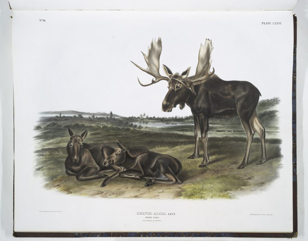 """Moose"" plate 76 from Audubon's ""The Quadrupeds of North America"""