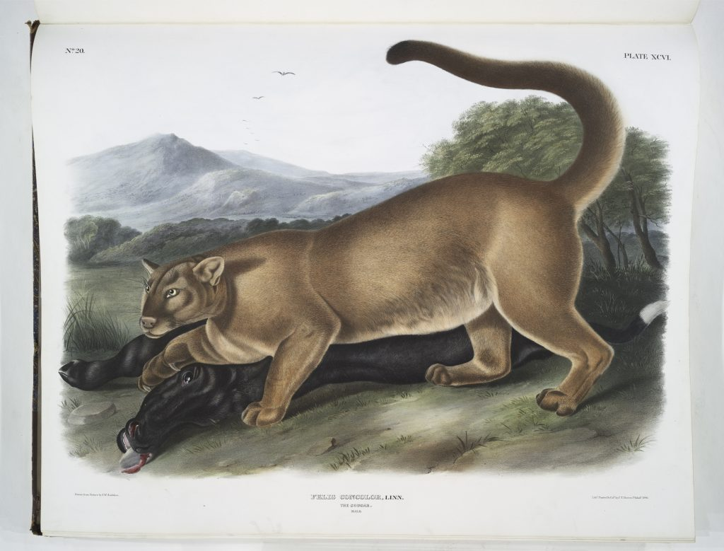 """Cougar"" plate 96 from Audubon's ""The Quadrupeds of North America"""