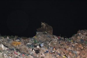 A mother bear with her three cubs at the Sarıkamış garbage dump in eastern Turkey.