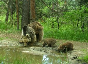 A mother bear and her two cubs stop for a drink in Sarıkamış Forest, eastern Turkey.