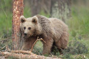 A juvenile Eurasian brown bear.