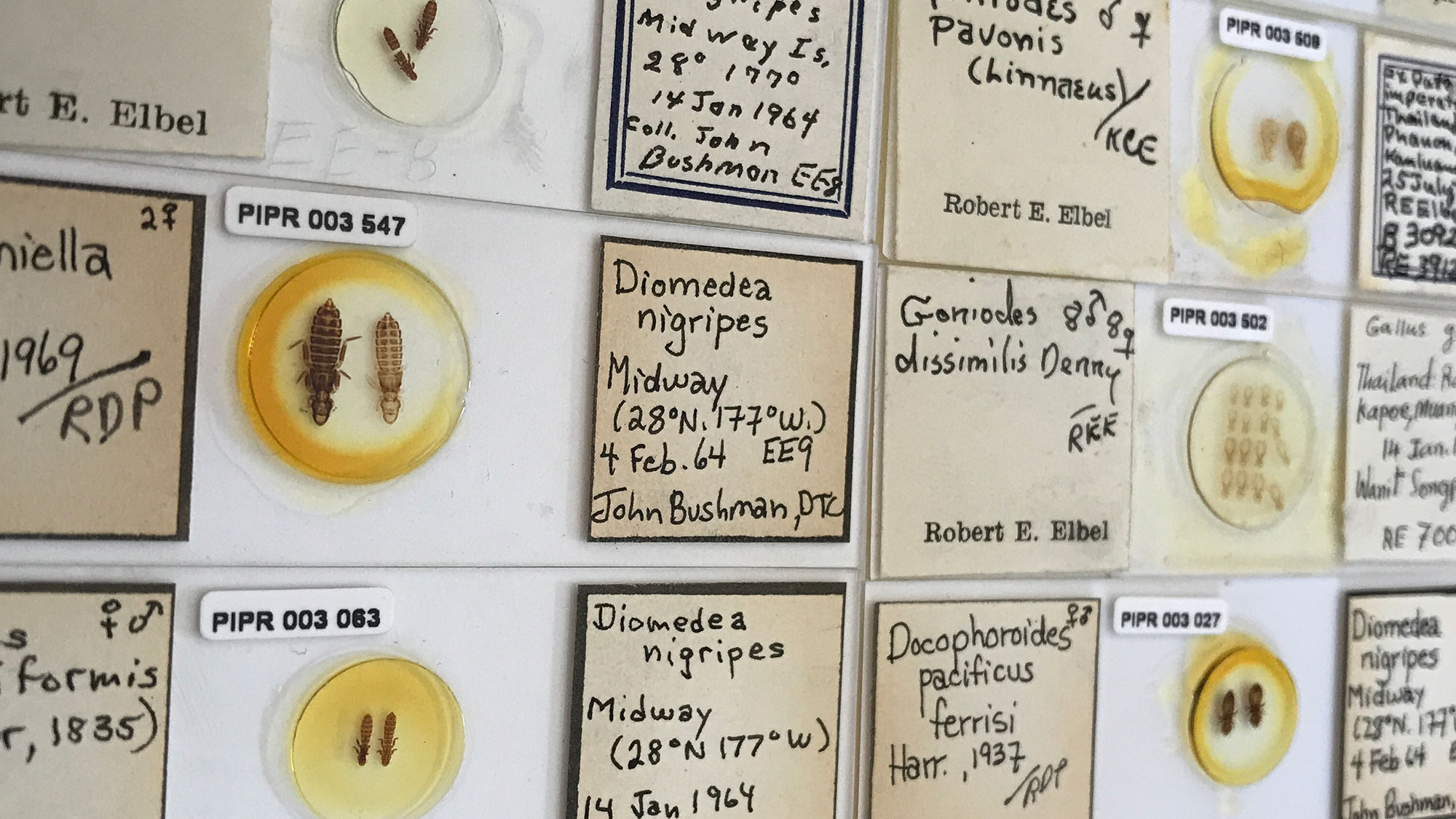 Columns and rows of microscope slides, yellowed with age, containing male and female pairs of lice with descriptions of species, genes, location found, host and more info on their labels.
