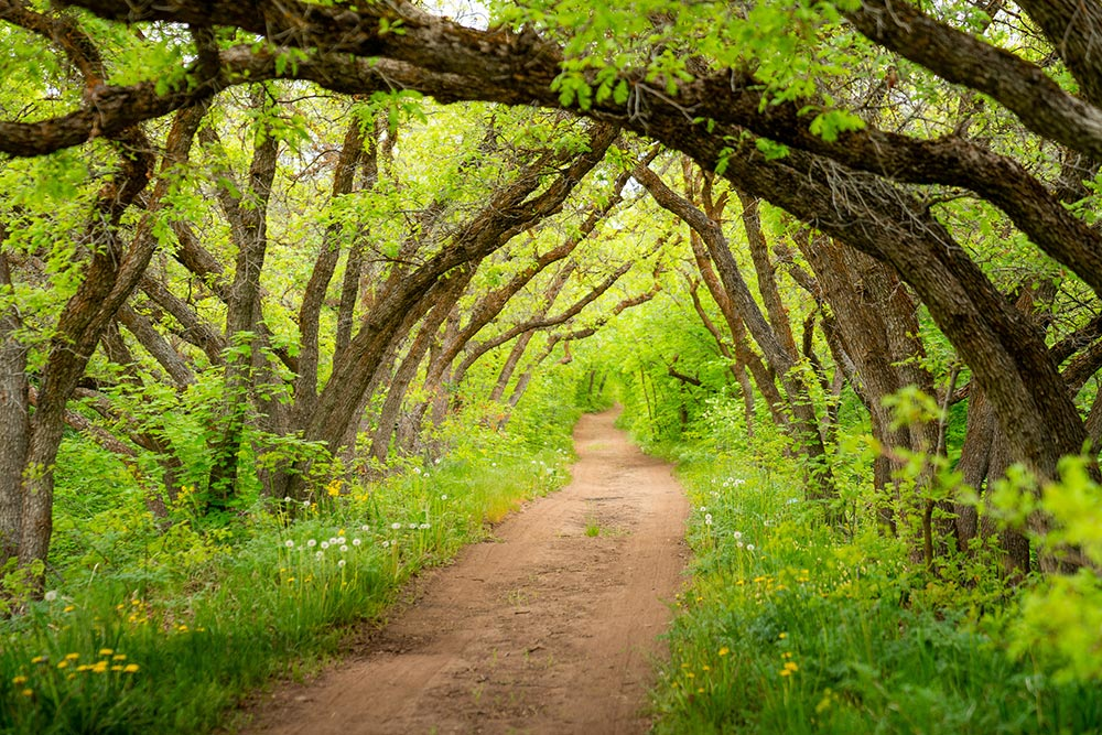 A dirt path beneath a tunnel of bright green trees.