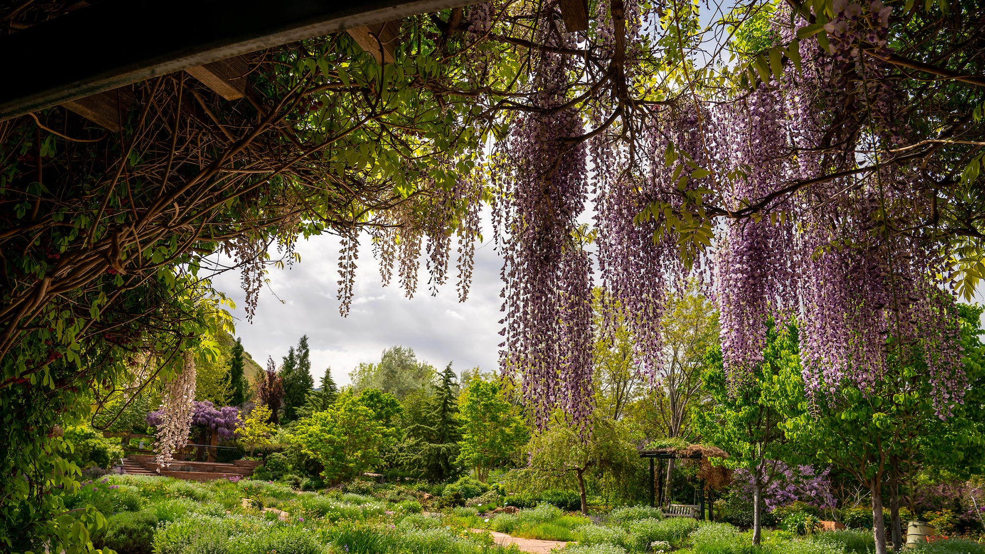 Lavender wisteria cascades off of a trellis in the foreground with bright green conifers and other plants in the background.