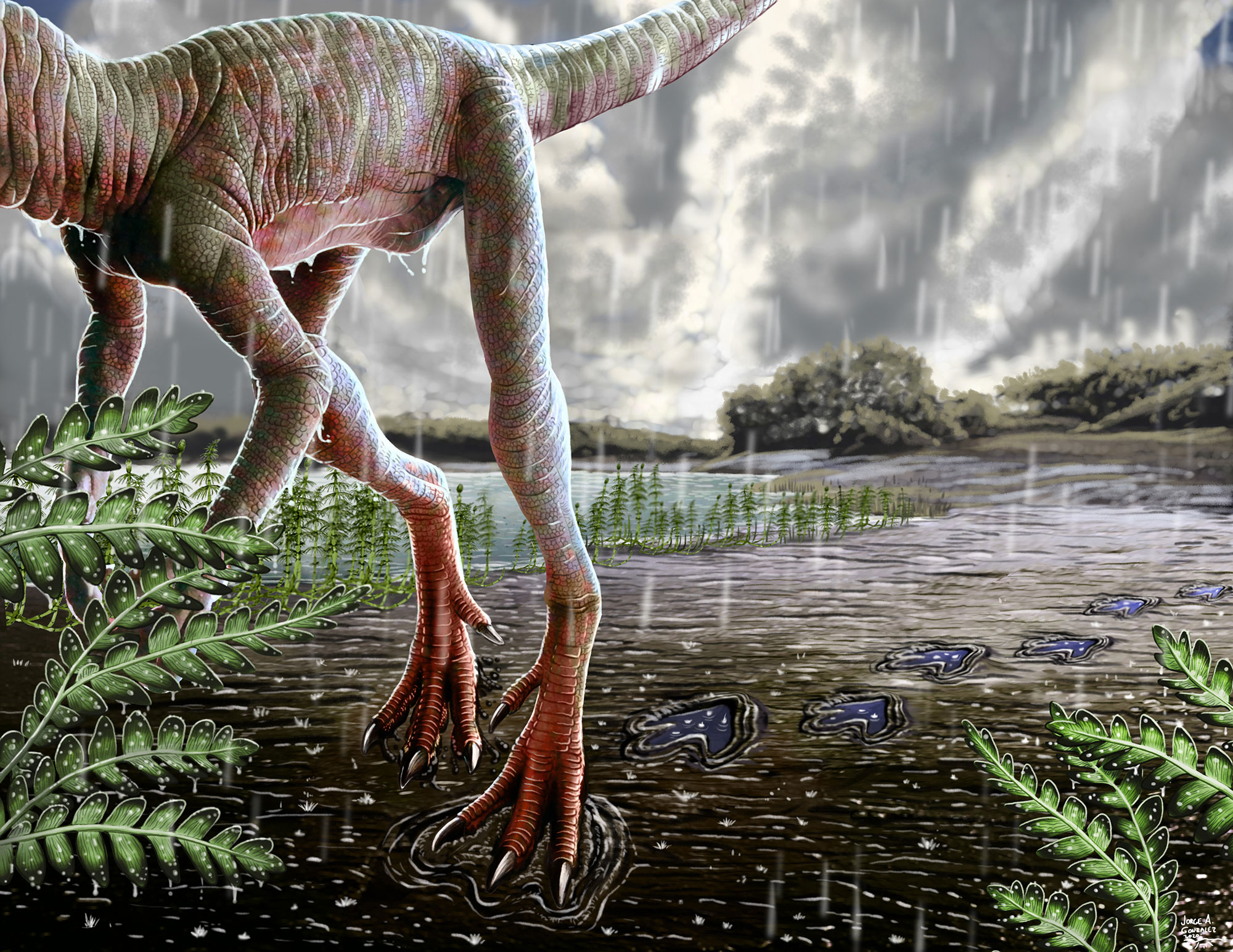An illustration that imagines what the dinosaur-like creature looked like while leaving the footprint millions of years ago. It's feet look like giant chicken feet - three toed with claws. Ferns are scattered in the background.