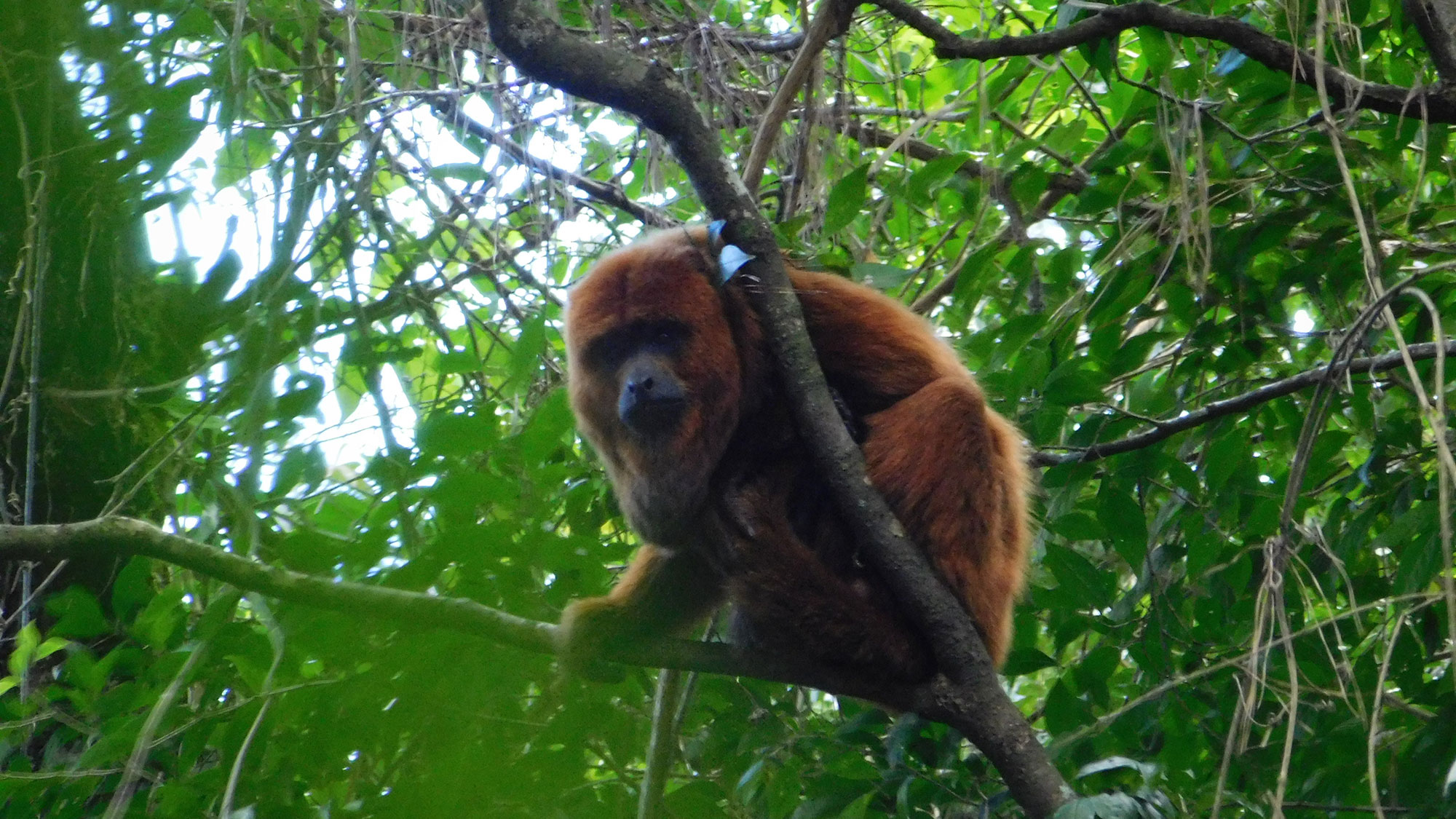 A male brown howler monkey is sitting on a branch of a tree, surrounded by green leaves, staring straight into the camera. The howler monkey has reddish brown fur and a black face.