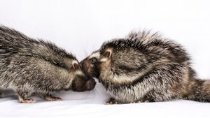 Two African crested rats stand face to face, nuzzling each other. The rodents are rabbit-sized and resembles a gray puffball crossed with a skunk. Their fur is various shades or brown and gray, with dark stripts that line its flanks from leg to its face.