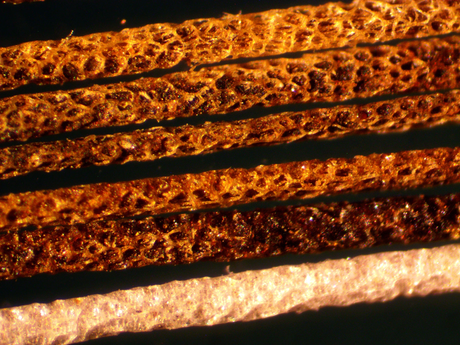 Microscopic close up of the specialized hairs that the African crested rats lick and rub poison into from the poison arrow tree. The hairs are brown strands with holes all over the shaft.