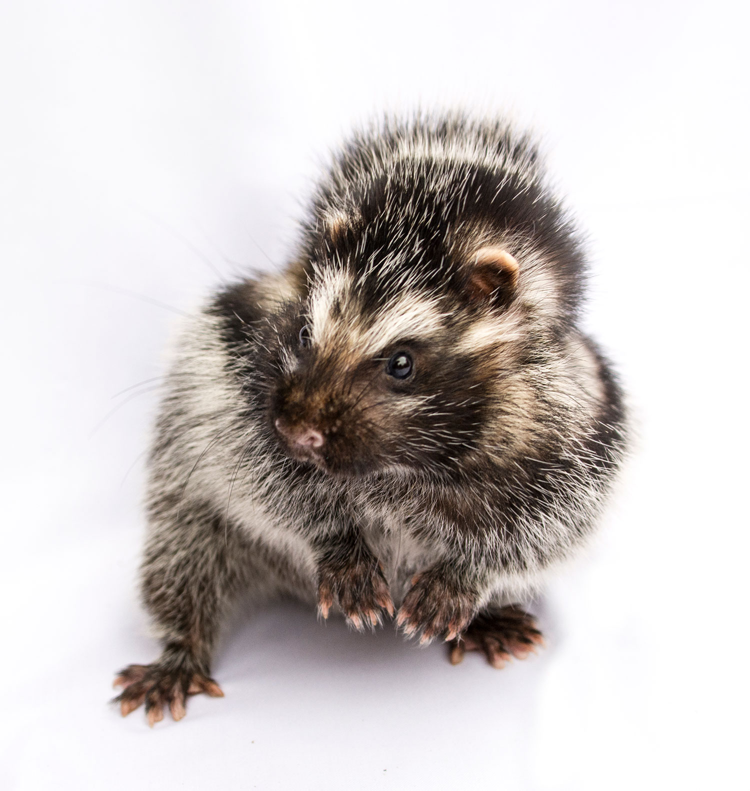 An African crested rat sits on its haunches, looking left, against a white background. The rabbit-sized rodent's fur is various shades or brown and gray, with dark stripts that line its flanks from leg to its face. It's head is black on top, with white fur that look like eye brows, and dark fur lines its eyes and snout.