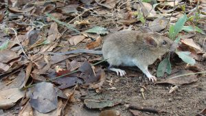The mouse is light brown fur, a long tail and cute round ears holds a bunch of leaves in its mouth while scurrying across dead leaves on the ground.