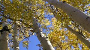 A close up of quaking aspen trees.