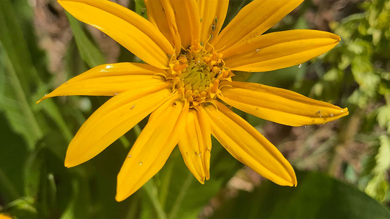 A close up of a marigold colored flower with 12 petals arranged in a circle. The center has tiny pollen tubes sticking out of the center.