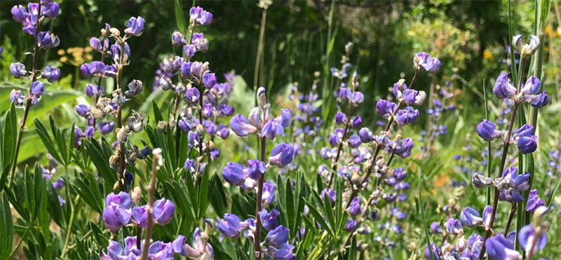 A cluster of purple flowers that look like little cup shapes on opposite sides of the stem in a spike-like formation.