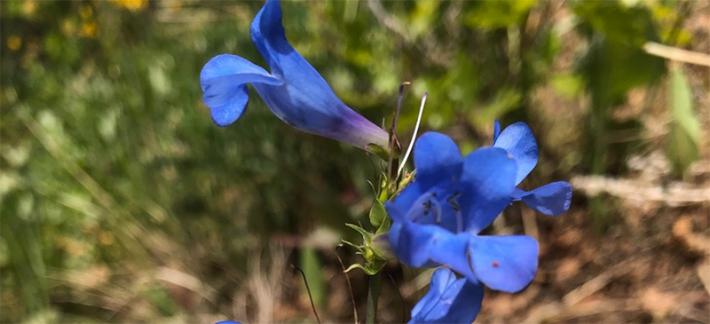 Close up of a blue flower shaped a trumpet, with a long tube attached the the stem, and with two petals on top and the larger petals on the bottom.