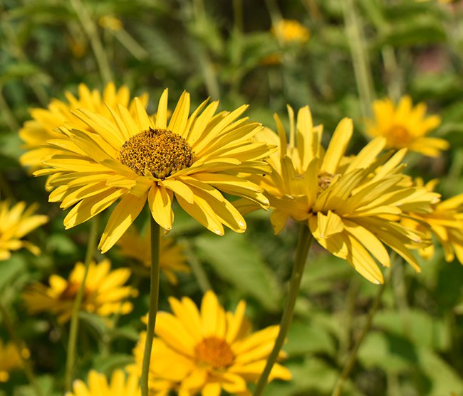 a closeup of two yellow flowers that are daisy in shape. In then background are a field of the yellow flowers out of focus.