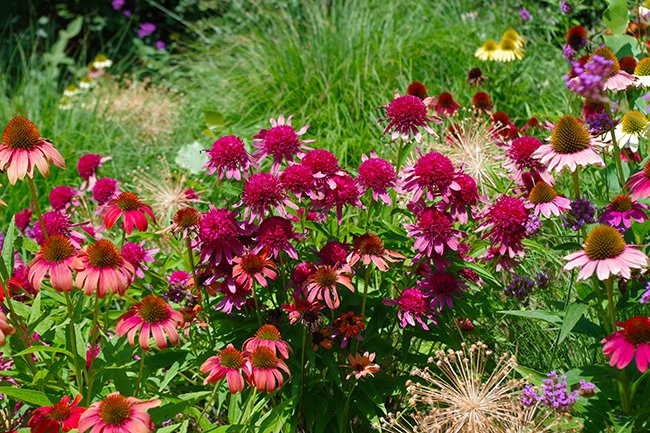 A cluster of flowers with large magenta centers and lighter pink petals around the outside.