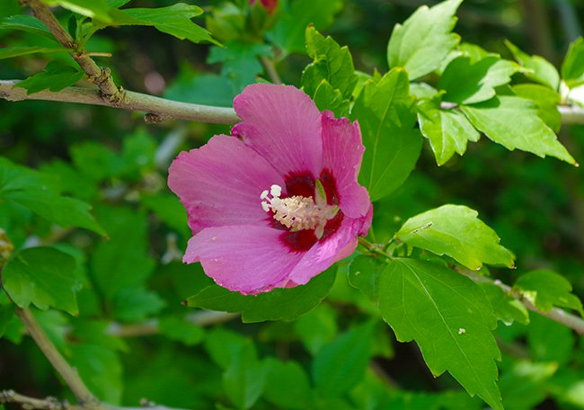 A bright pink flower with five petals around a large pollen spike in the center on a tree.