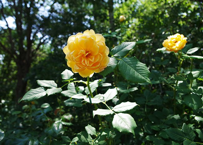 A yellow rose on a green stem with leaves against another yellow rose in the background and green trees beyond that.