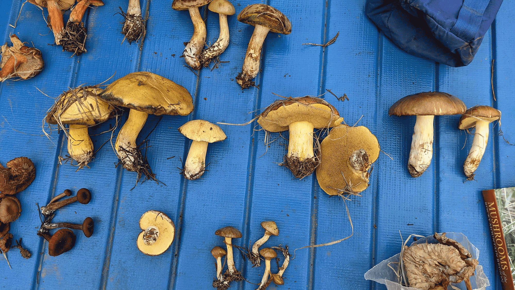 A bunch of mushroom layed out on a blue picnic table.