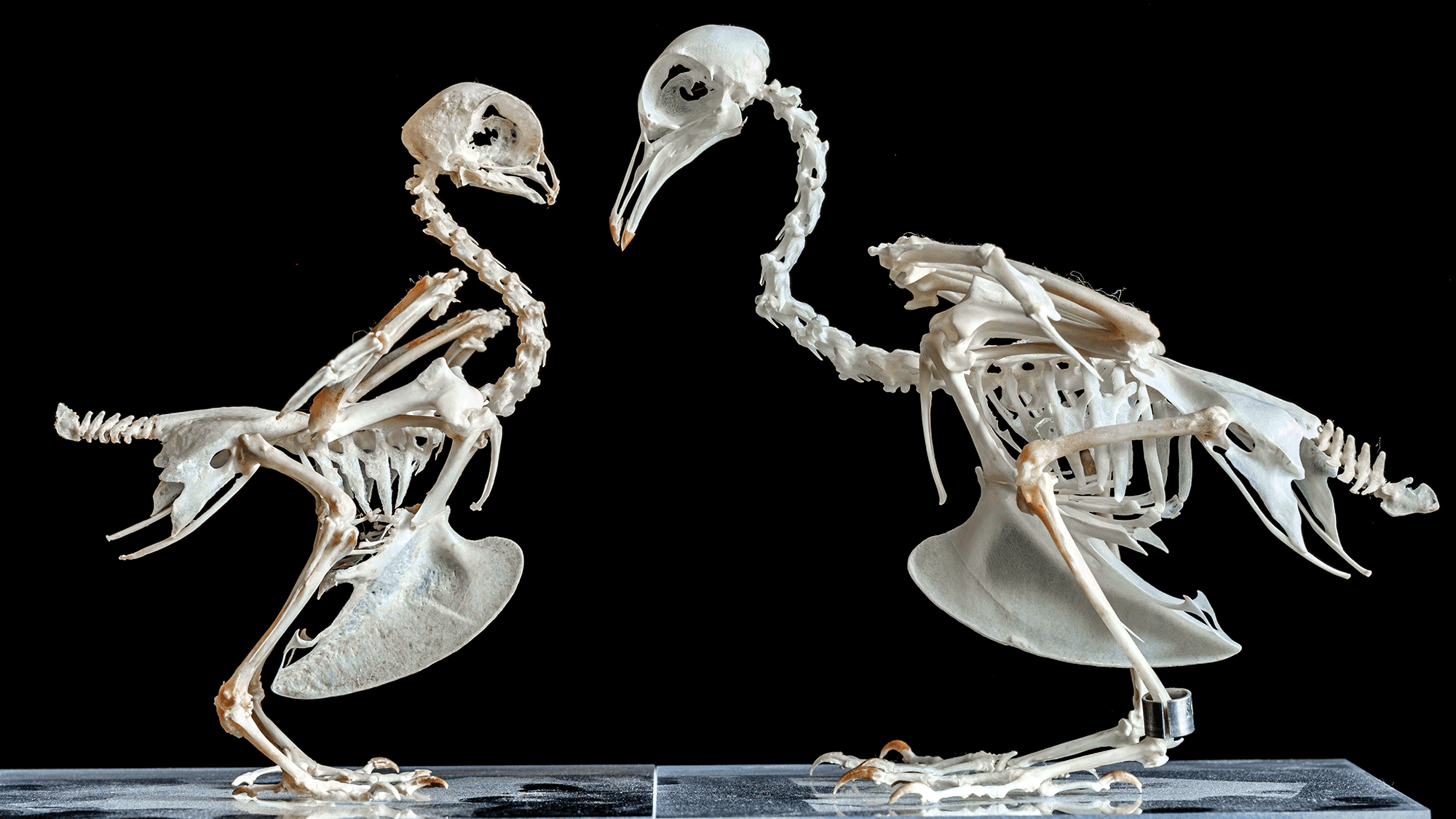 Skeletons of domestic pigeons facing each other. The left skeleton has a short beak, the right one has a long beak.