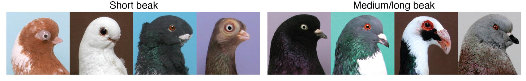 Headshots of domestic pigeon breeds. The left four have short beaks, the right four have medium or long beaks.