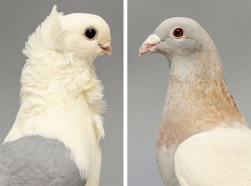 Two domestic pigeon breeds photos facing each other, the left one has a very short beak, big black eye, white feathers on the head with a crest sticking up. The right pigeon has gray brown feathers on the head with a red eye ball, and a beak that's about twice as long as the other birds.